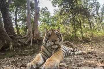 Bengal tiger (Panthera tigris tigirs) sub-adult male tiger 'MV1' Kanha National Park, Central India. Camera trap image.