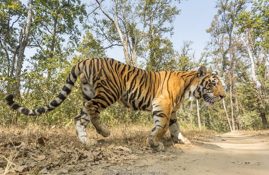 Bengal tiger (Panthera tigris tigris) sub-adult male crossing track, Kanha National Park, Central India. Camera trap image.