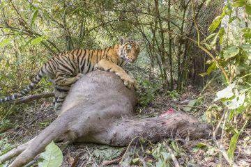 Bengal tiger (Panthera tigris tigirs) cub aged 8-9 months feeding on Sambar deer (Rusa unicolor) kill. Kanha National Park, Central India. Camera trap image.