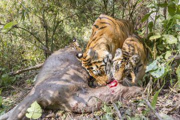 Bengal tiger (Panthera tigris tigris) feeding on Sambar kill with her cubs aged 8-9 months. Kanha National Park, Central India. Camera trap image.