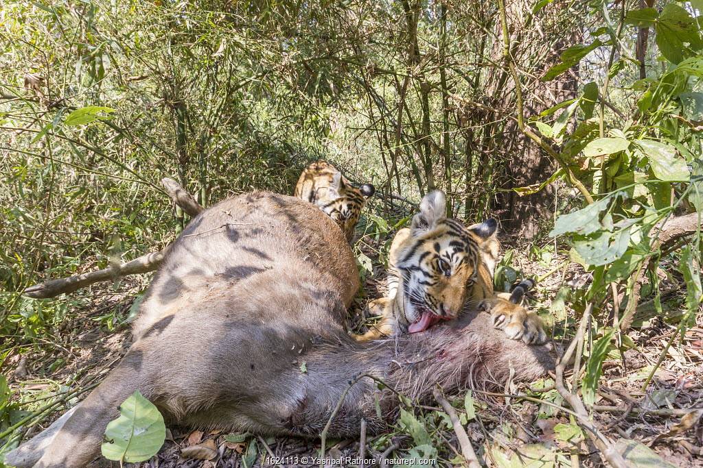 Bengal tiger (Panthera tigris tigirs) young cubs aged 8-9 months feeding on Sambar deer (Rusa unicolor) kill. Kanha National Park, Central India. Camera trap image.