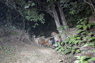 Bengal tiger (Panthera tigris tigris) violent fight between two sub adult tigers probably siblings for Gaur (Bos gaurus) calf kill. Kanha National Park, Central India. Camera trap image.