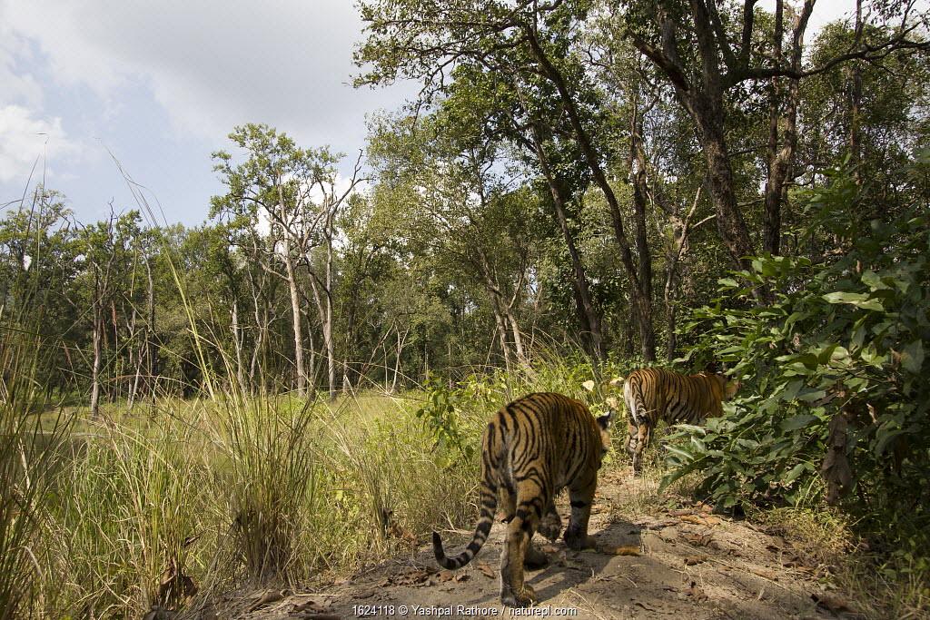 Bengal tiger (Panthera tigris tigris) young tiger cub following mother on bund / wall trail. Kanha National Park, Central India. Camera trap image.
