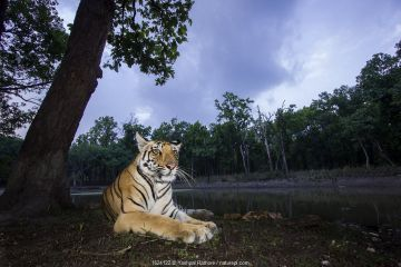 Bengal tiger (Panthera tigris tigris) sub adult tigress resting at dusk. Kanha National Park, Central India. Camera trap image.