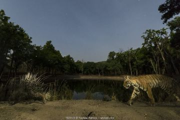Bengal tiger (Panthera tigris tigris) inquisitive young tiger cub following Porcupine (Hystrix indica) at night, Kanha National Park, Central India. Camera trap image.