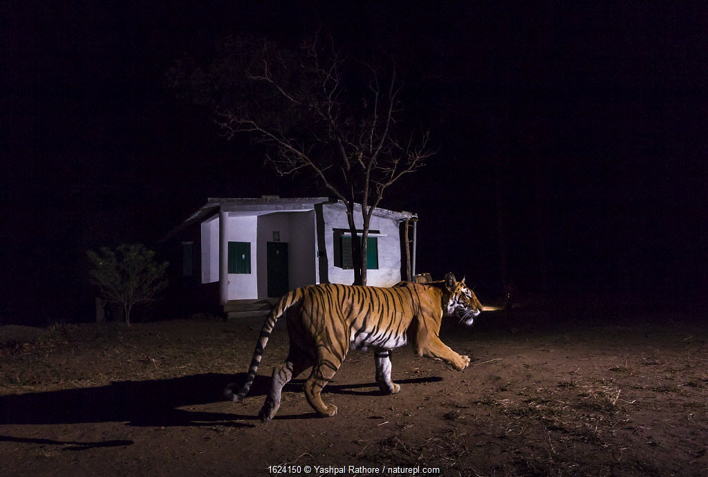Bengal tiger (Panther tigris tigris) 'T27' patrolling her territory in front of forest guard house along edge of the park. Kanha National Park, Central India. Camera trap image.