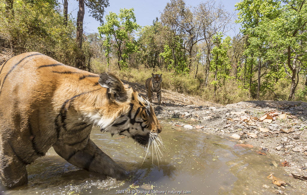 Bengal tiger (Panthera tigris tigris) female (T27) acting cautiously as dominant male (T29) approaches watering hole Kanha National Park, Central India. Camera trap image.