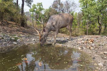 Sambar deer (Rusa unicolor) stag drinking at waterhole Kanha National Park, Central India. Camera trap image.