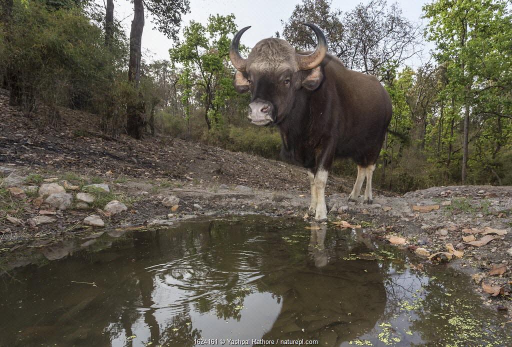 Gau (Bos gaurus), female drinking at waterhole, Kanha National Park, Central India. Camera trap image.