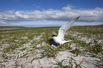 Little Tern (Sterna albifrons) at the nest amongst Black oats (Avena strigosa), Berneray, North Uist, Hebrides, Scotland, July. Remote camera.