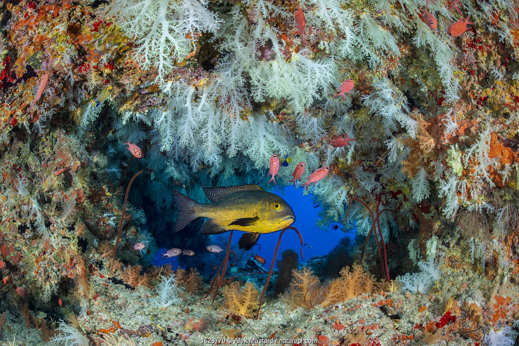 Midnight snapper (Macolor macularis) shelters in a cavern on a coral reef with white soft corals (Scleronephthya sp.) and solderfish. Vavuu Atoll, Maldives. Indian Ocean