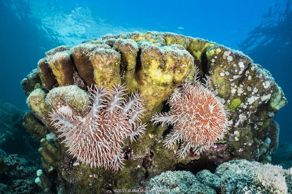 Pair of crown-of-thorns sea stars (Acanthaster planci) feeding on a coral colony. La Paz, Baja California Sur, Mexico. Sea of Cortez, Gulf of California, East Pacific Ocean.