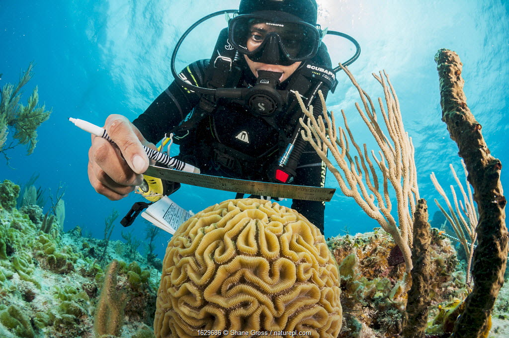 Marine biologist measuring Brain coral (Colpophyllia natans), ongoing program to monitor and restore coral reefs in The Bahamas. Eleuthera, Bahamas. 2017.