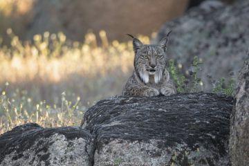 Iberian lynx (Lynx pardinus) portrait, Sierra de Andujar Natural Park, Andalucia, Spain