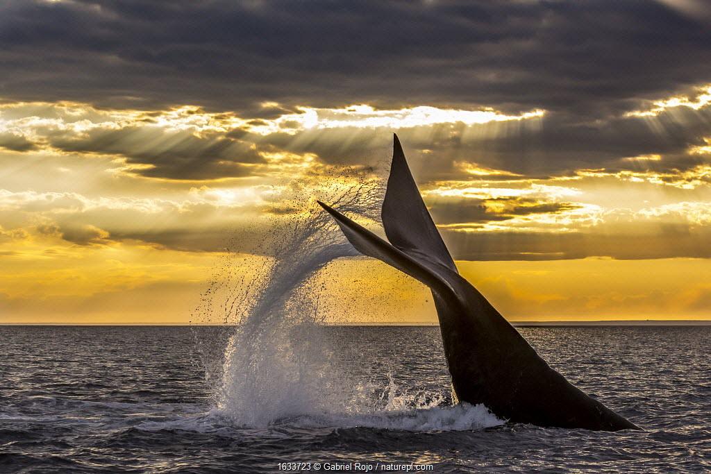 Southern right whale (Eubalaena australis) diving, with tail fluke splash. Monumento Natural Ballena Franca Austral, UNESCO World Heritage Site, Valdes Peninsula, Patagonia, Argentina.