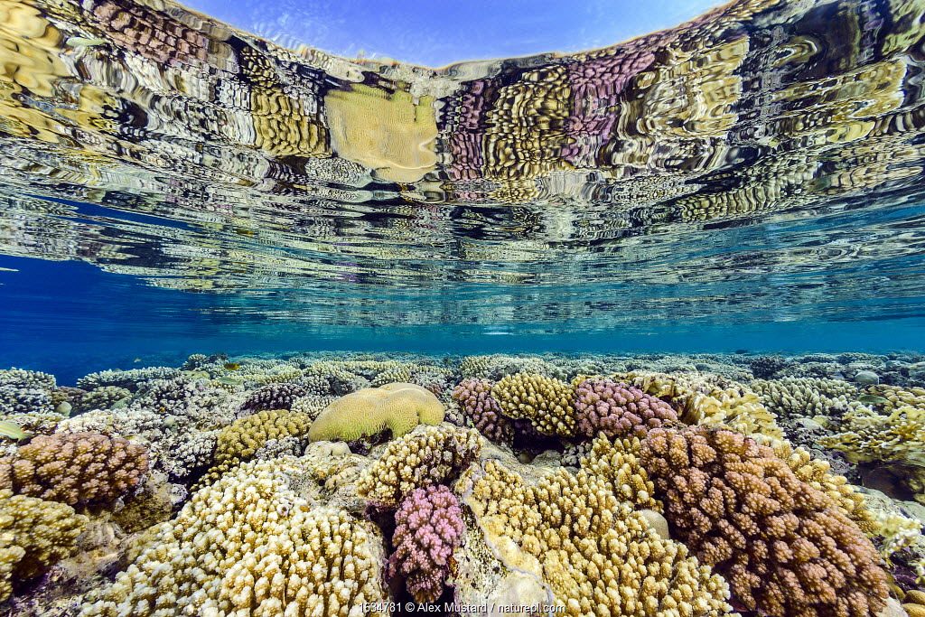 Hard corals (including Acropora sp., Platygyra sp. and Pocillopora spp.) growing in shallow water and reflected in the surface. Ras Umm Sid, Sharm El Sheikh, Sinai, Egypt. Red Sea