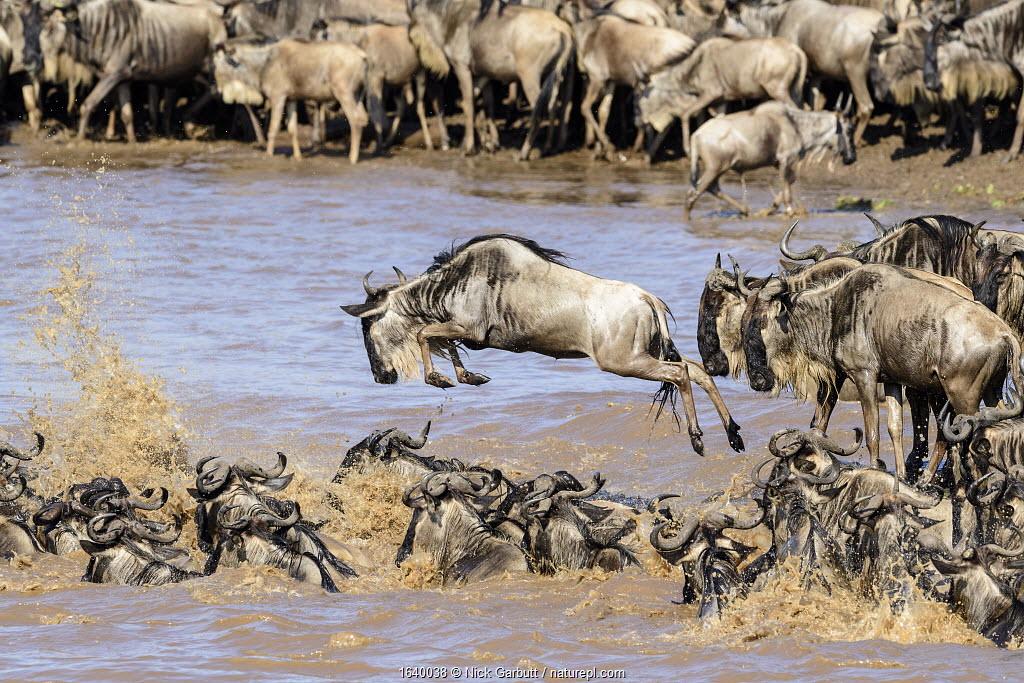 Herds of White-bearded wildebeest (Connochaetes taurinus albojubatus) crossing the Mara River. Northern Serengeti, Serengeti National Park, Tanzania.