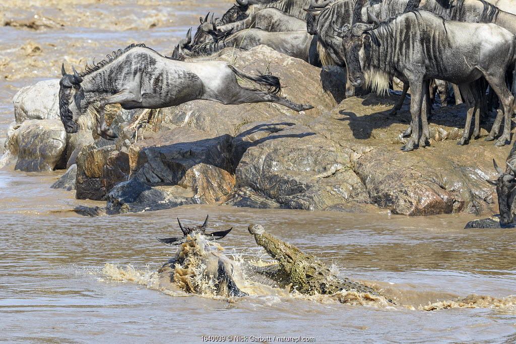 Nile crocodile (Crocodylus niloticus) attacking a white-bearded wildebeest (Connochaetes taurinus albojubatus) as it crosses the Mara River. Northern Serengeti, Serengeti National Park, Tanzania