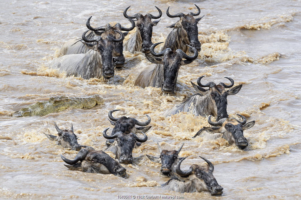 Nile crocodile (Crocodylus niloticus) waiting to attack White-bearded wildebeest (Connochaetes taurinus albojubatus) as they cross the Mara River. Northern Serengeti, Serengeti National Park, Tanzania (early September)