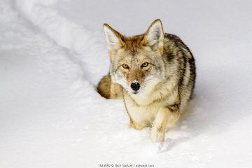 Coyote (Canis latrans) walking through deep winter snow. Yellowstone National Park, Wyoming, USA. January.