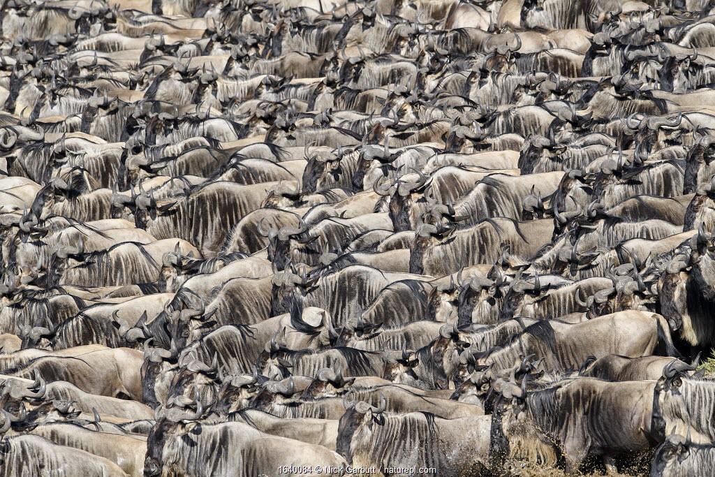Herds of White-bearded wildebeest (Connochaetes taurinus albojubatus) waiting to cross the Mara River. Serengeti National Park, Tanzania. September.