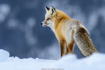 Red fox (Vulpes vulpes) in deep snow. Yellowstone National Park, USA. January