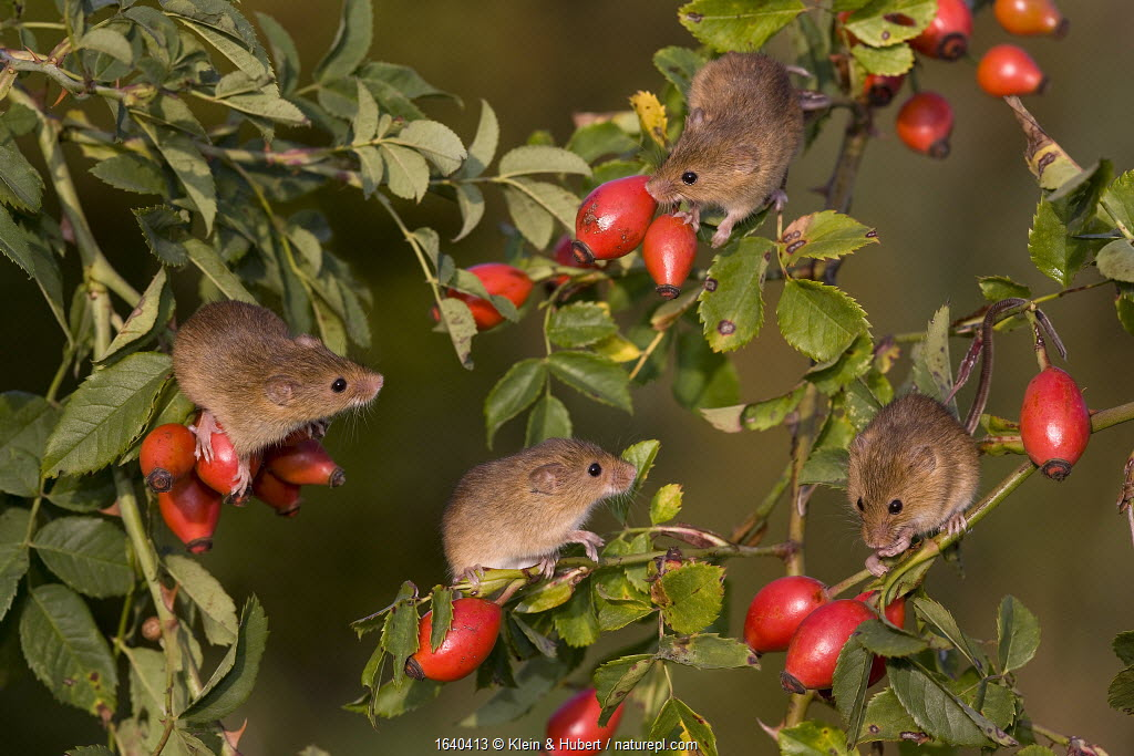Young Harvest mice (Micromys minutus) climbing in dog rose bush (Rosa canina), in fall, France. Controlled conditions.