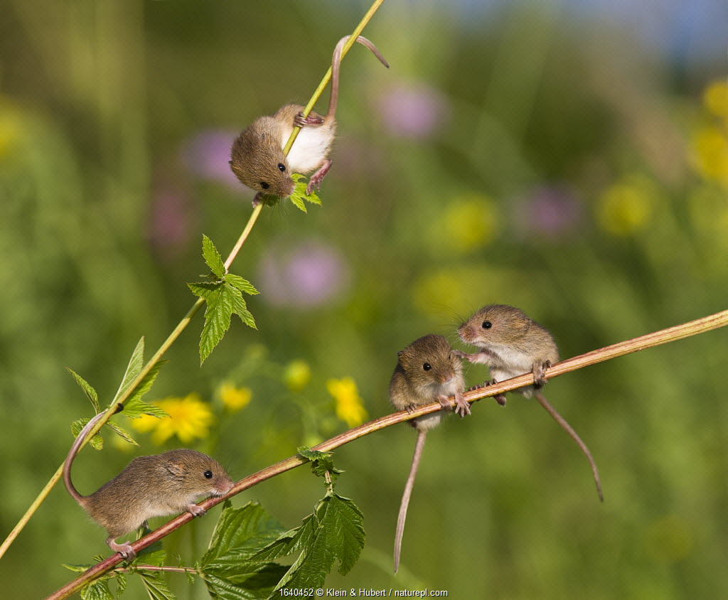 Young Harvest mice (Micromys minutus) exploring in meadowsweet, (Filipendula ulmaria), France. Controlled conditions.