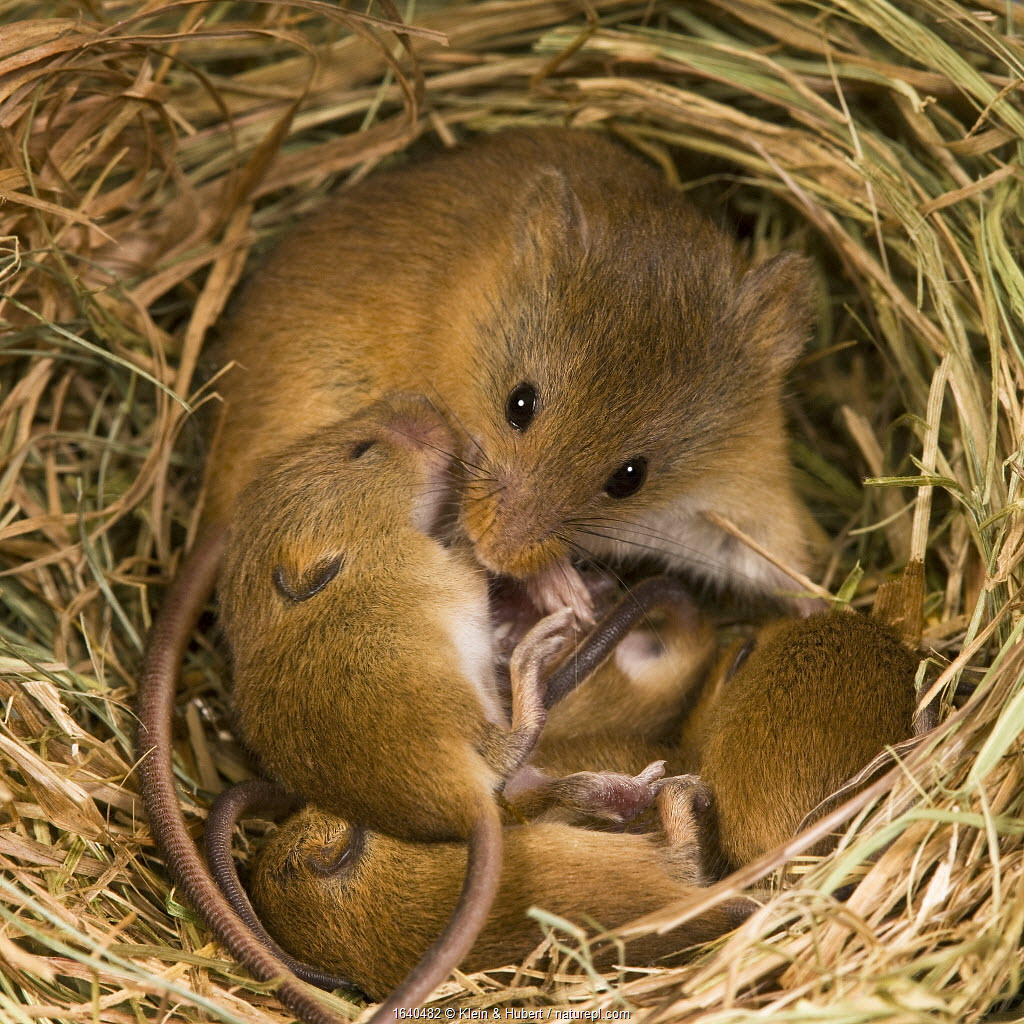 Harvest mouse (Micromys minutus) female with her young age 10 days in her nest in summer,France, Controlled conditions.