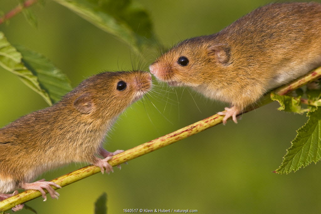 Harvest mice (Micromys minutus) pair sniffing each other, the female is the bigger of the two, France. Controlled conditions.