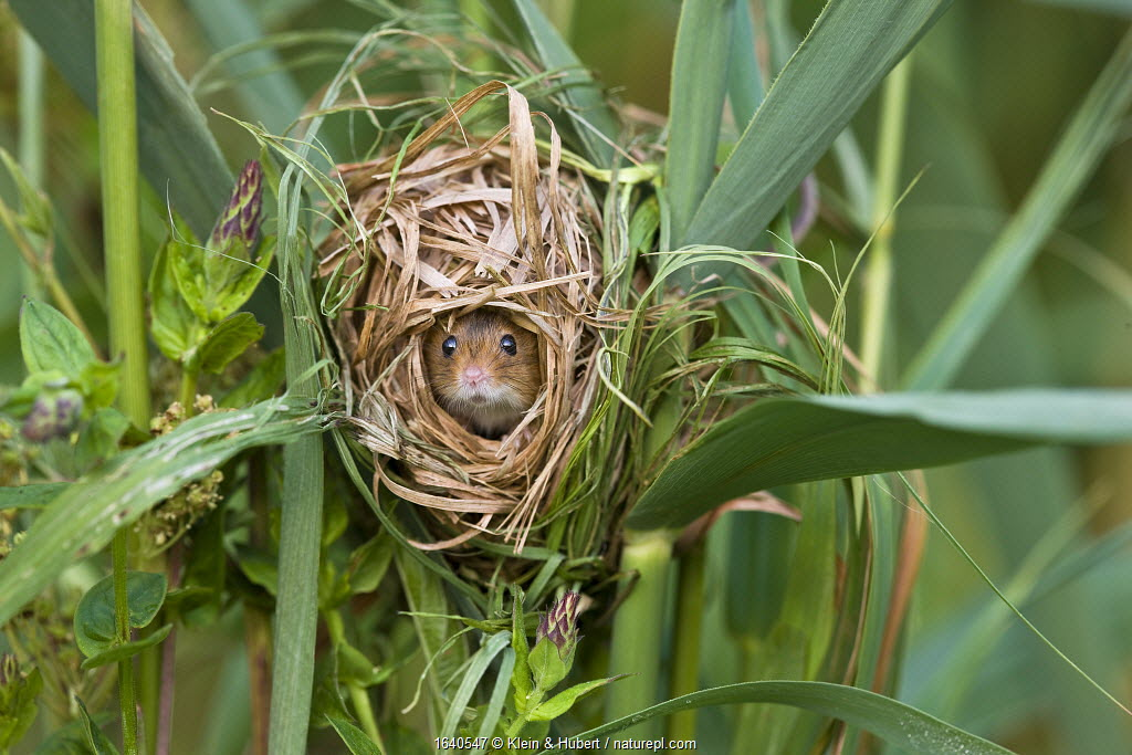 Harvest mouse (Micromys minutus) in nest built in marsh grasses in summer, France, Controlled conditions.
