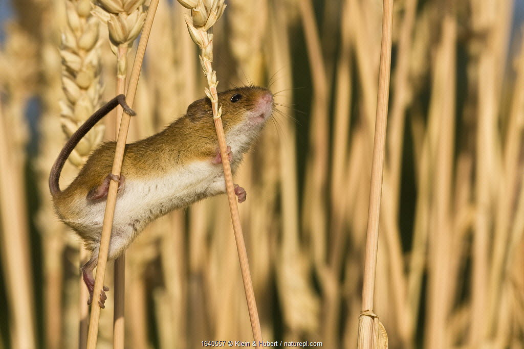 Young Harvest mouse (Micromys minutus) in cornfield in summer, France, Controlled conditions.