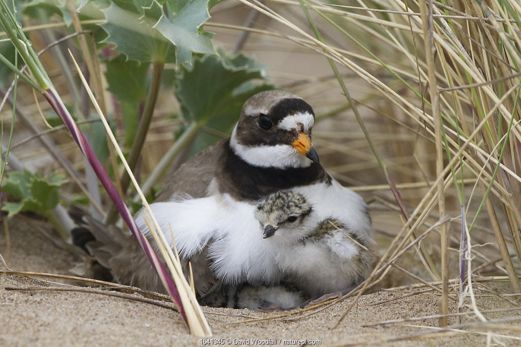 Ringed plover (Charidrius hiaticula) with newly hatched chick, Gronant, Denbighshire, North Wales, June. Remote camera.
