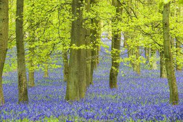 English bluebell (Hyacinthoides non-scripta) Ashridge Wood, Berkshire, England, UK, April.