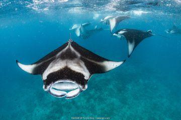 Reef manta rays (Manta alfredi) filter feeding on plankton. Vandhoo Thila, Raa Atoll, Maldives