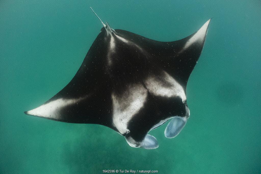 Reef manta ray (Manta alfredi) filter feeding on plankton. Madhivafaru Reef, Raa Atoll, Maldives