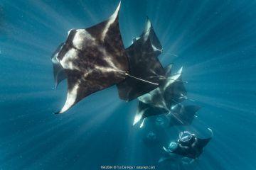 Reef manta rays (Manta alfredi) filter feeding on plankton, Dhikkurendho Reef, Raa Atoll, Maldives