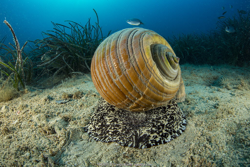 Giant tun (Tonna galea) a species of marine gastropod mollusc that is one of the biggest sea snails in the Mediterranean, photographed off Vis Island, Croatia, Adriatic Sea,