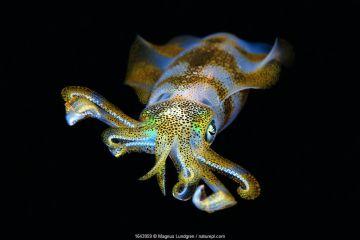 Bigfin reef squid (Sepioteuthis lessoniana) juvenile (20 cm), Triton Bay, West Papua, Indonesia. Minimum fees apply.
