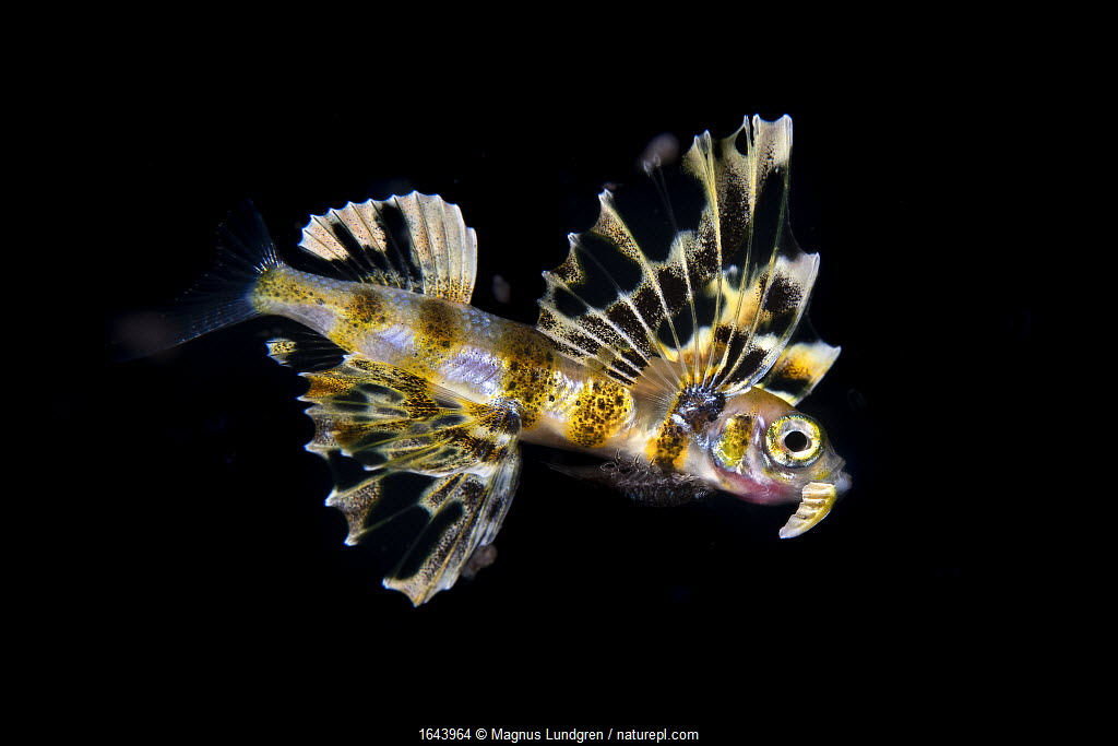 Flying fish (Cypselurus sp - possibly Cypselurus doederleinii) small (2cm) juvenile. Close to the surface at night, Anilao, Philippines. Minimum fees apply.
