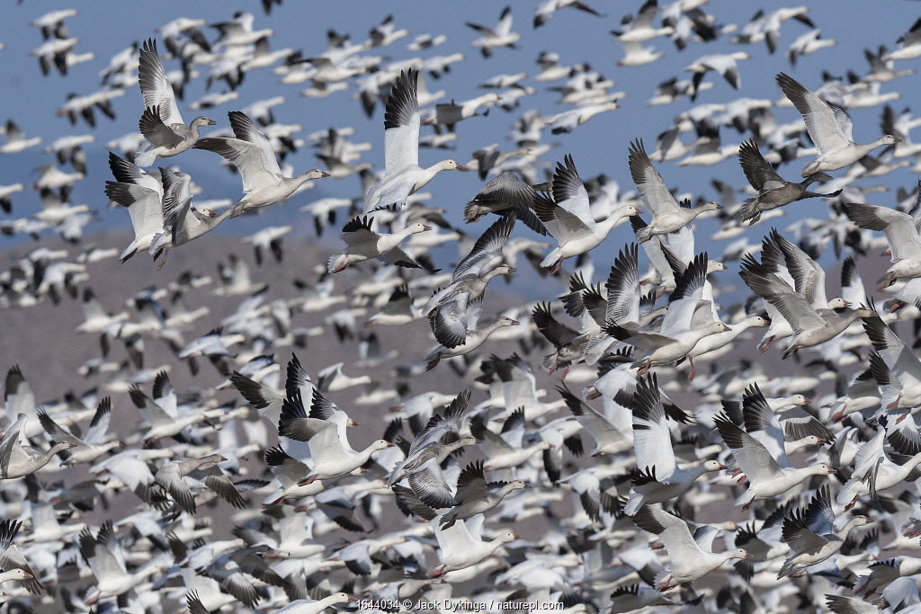 Snow geese (Anser caerulescens) flock taking off, Bosque del Apache National Wildlife Refuge New Mexico, USA, November.
