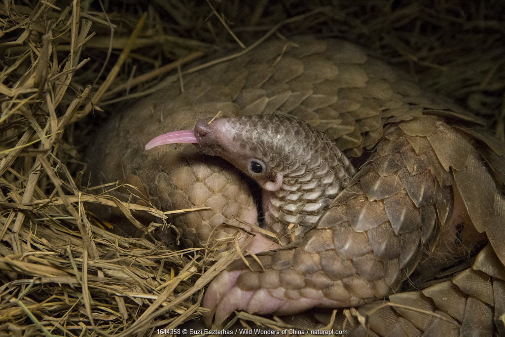 Sunda pangolin (Manis javanica) with two-week old baby, with tongue out. The mother was rescued from poachers when she was pregnant and later gave birth while in rehabilitation. Carnivore and Pangolin Conservation Program, Cuc Phuong National Park, Vietnam. Captive.