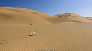 Namaqua chameleon (Chamaeleo namaquensis) walking up dune, Swakopmund, Dorob National Park, Namibia