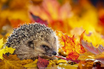 Common hedgehog (Erinaceus europaeus) in dead leaves in autumn, France. Controlled conditions.