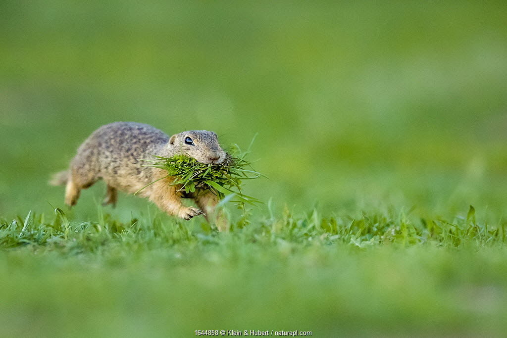 European ground squirrel / Souslik (Spermophilus citellus) female running with mouth full of grass to feed her babies in their burrow, Hungary