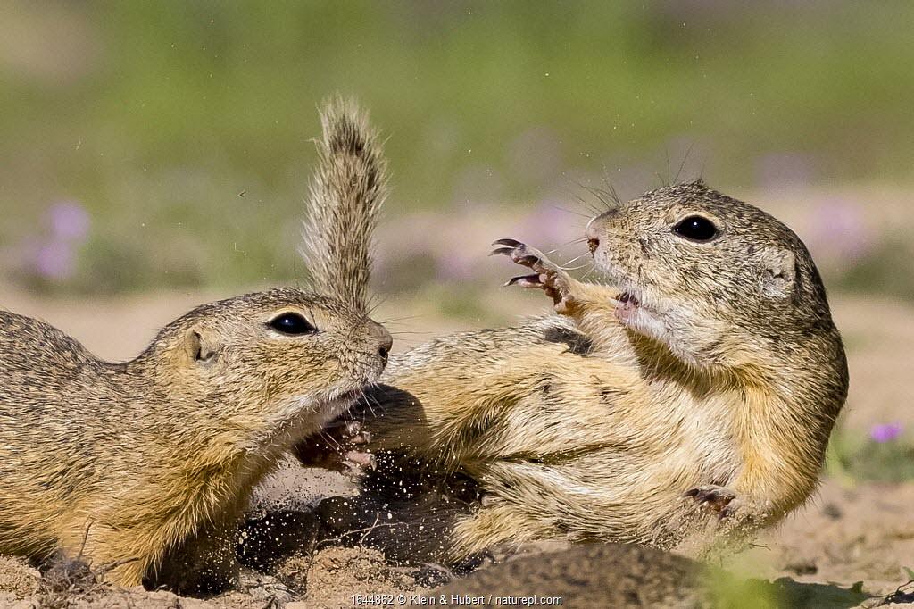 European Ground squirrels (Spermophius citellus) fighting on burrow, Hungary