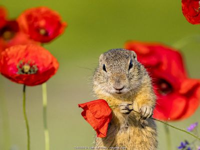 European ground squirrel / Souslik (Spermophius citellus) standing in a carpet of flowers of Stork's bill (Erodium cicutarium) and holding in his paws a Poppy (Papaver rhoeas) flower before eating it, Hungary