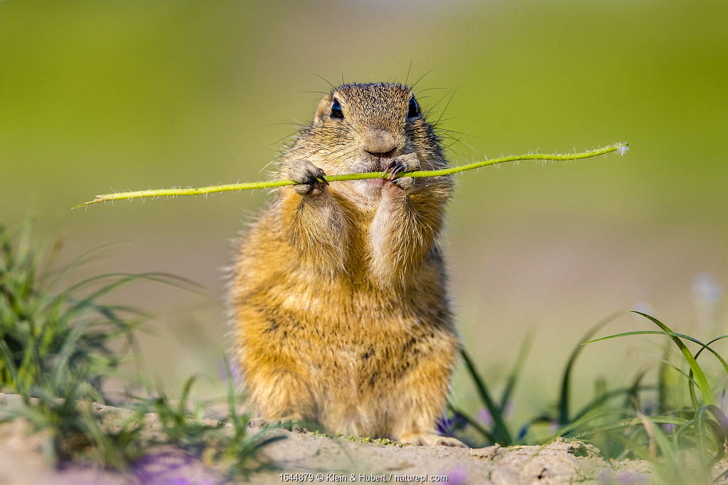 European ground squirrel / Souslik (Spermophius citellus) eating a stem of Poppy (Papaver rhoeas) , Hungary