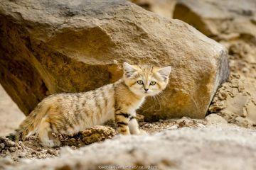 Sand cat (Felis margarita) kitten age three months, Captive.