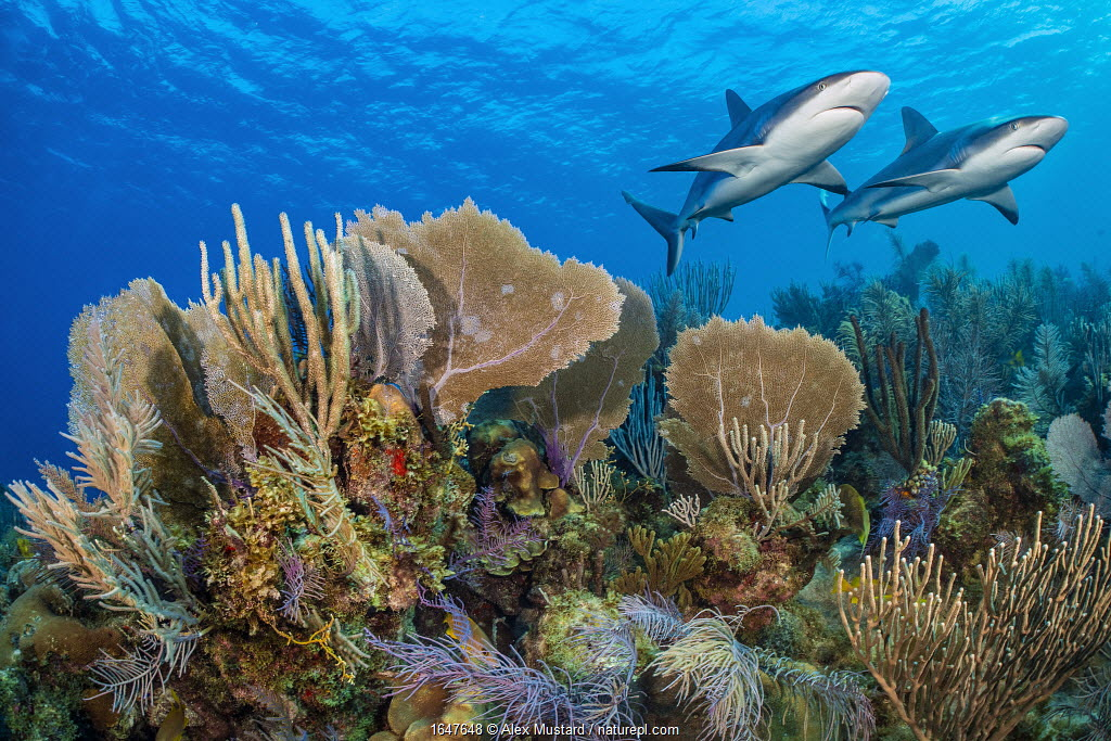 A vibrant Caribbean coral reef with two Reef sharks (Carcharhinus perezi) and Common sea fans (Gorgonia ventalina) and sea plumes (Pseudopterogorgia sp). Jardines de la Reina, Gardens of the Queen National Park, Cuba. Caribbean Sea.